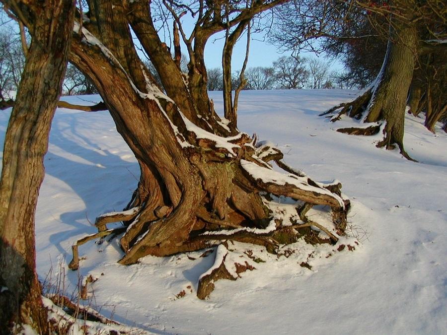корни дерева зимой