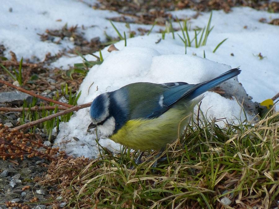 птица синица фото 1