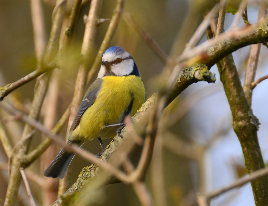 птица синица фото 3