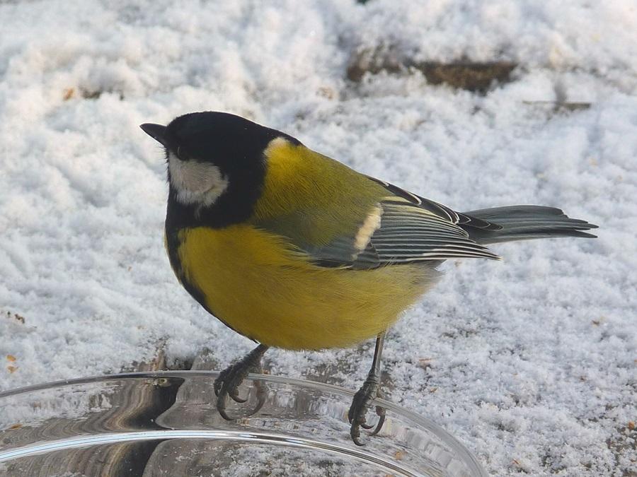 птица синица фото 5