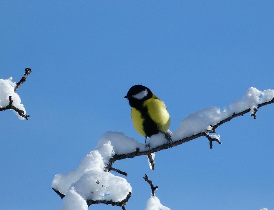 птица синица фото 7