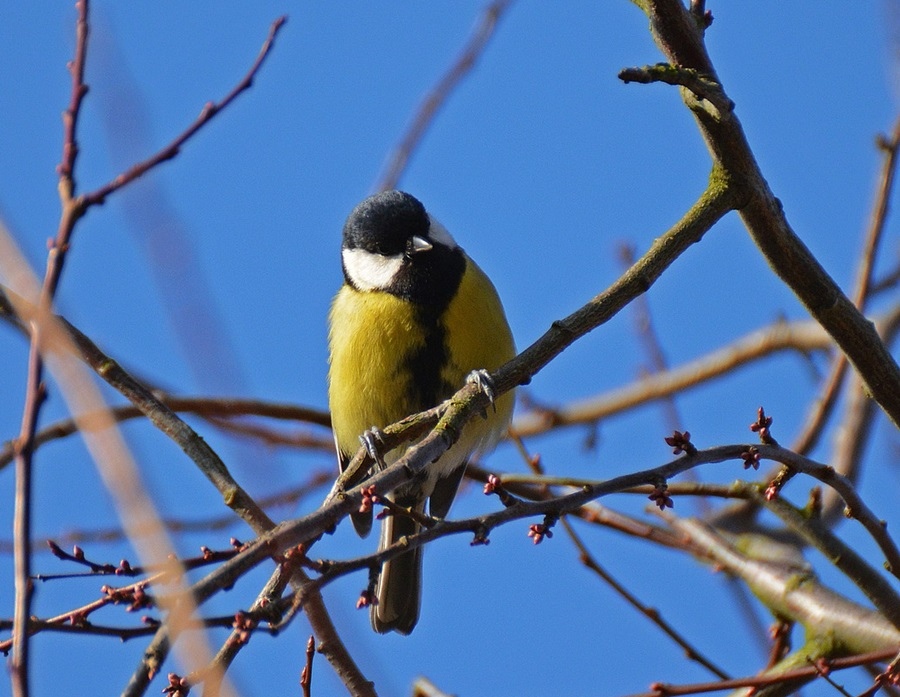 птица синица фото 8