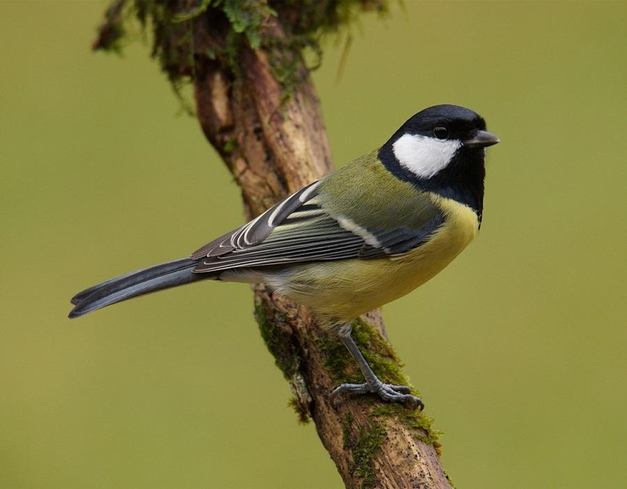 птица синица фото