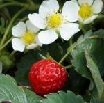 Клубники мало: почему маленький урожай клубники?