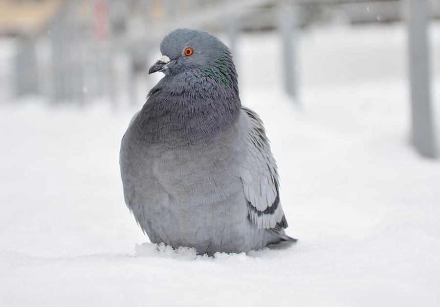 голуби зимой 2