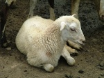 Овцы зимой