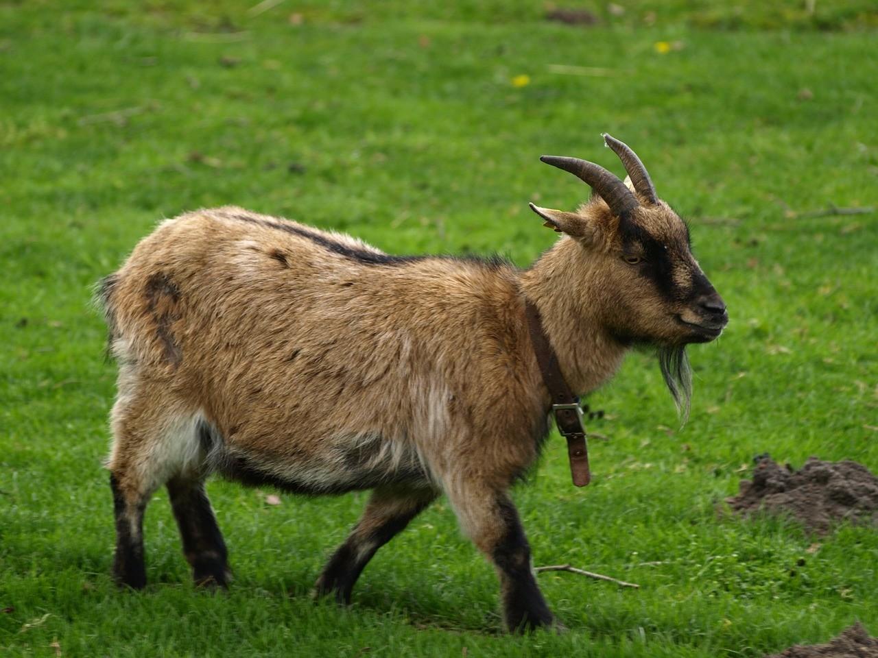 красивая коза фото 1