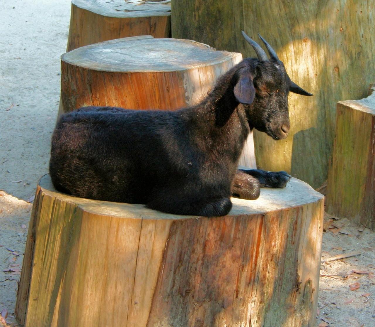 красивая коза фото 10
