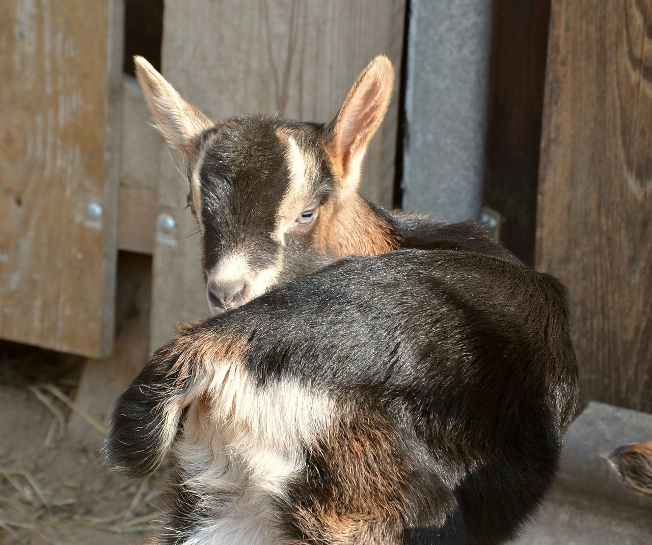 красивая коза фото 11