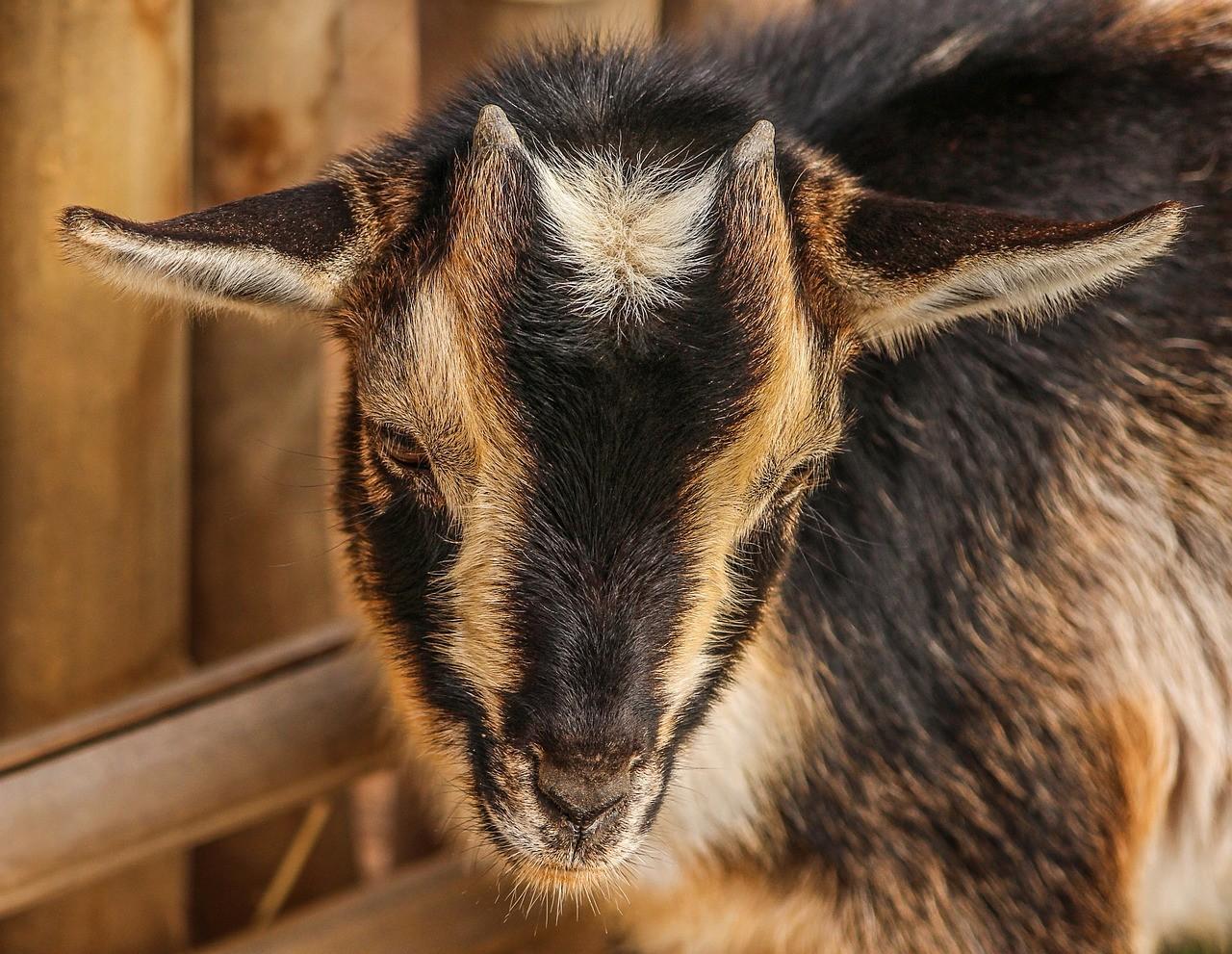 красивая коза фото 13