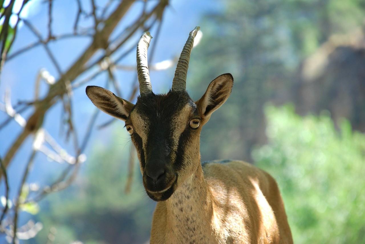 красивая коза фото 15