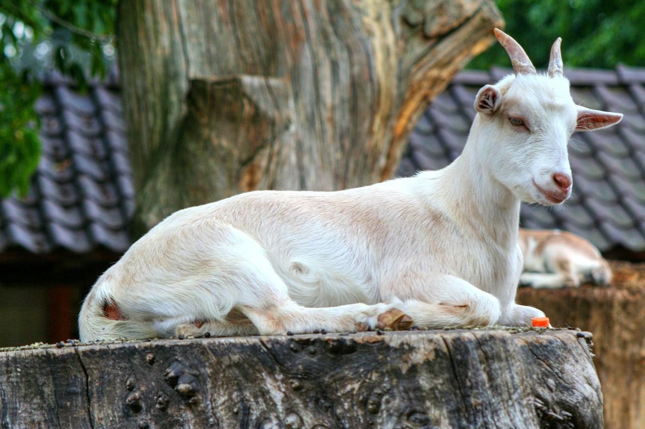 красивая коза фото 2