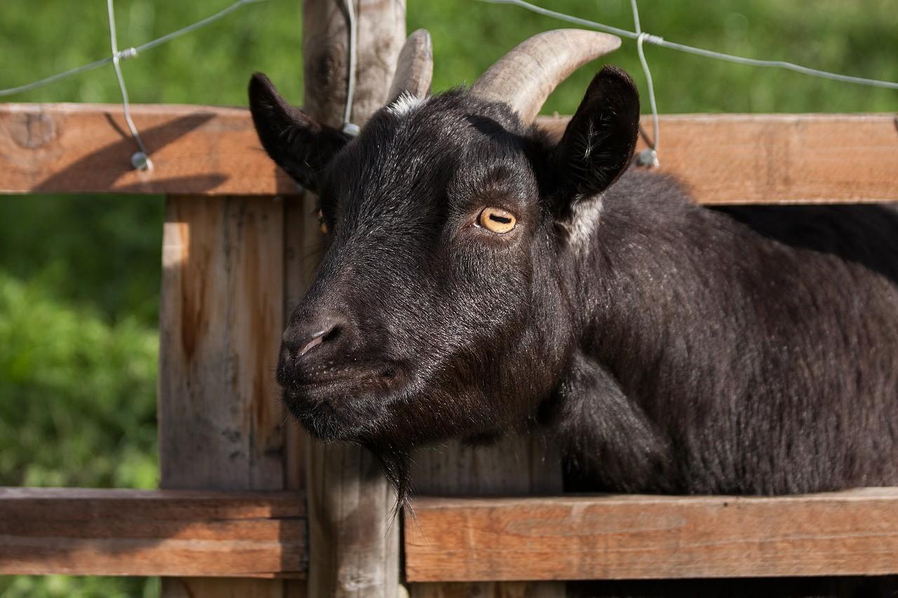красивая коза фото 4