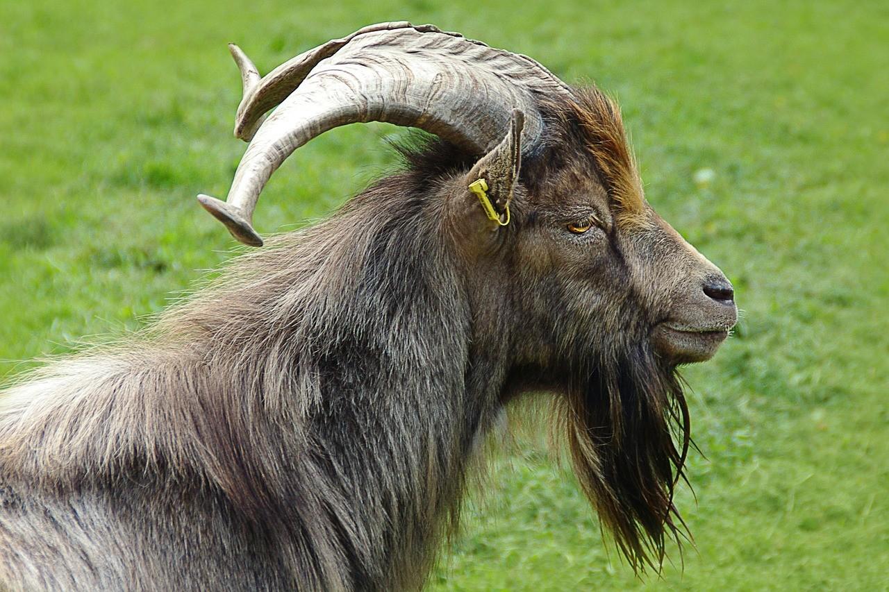 красивая коза фото 5