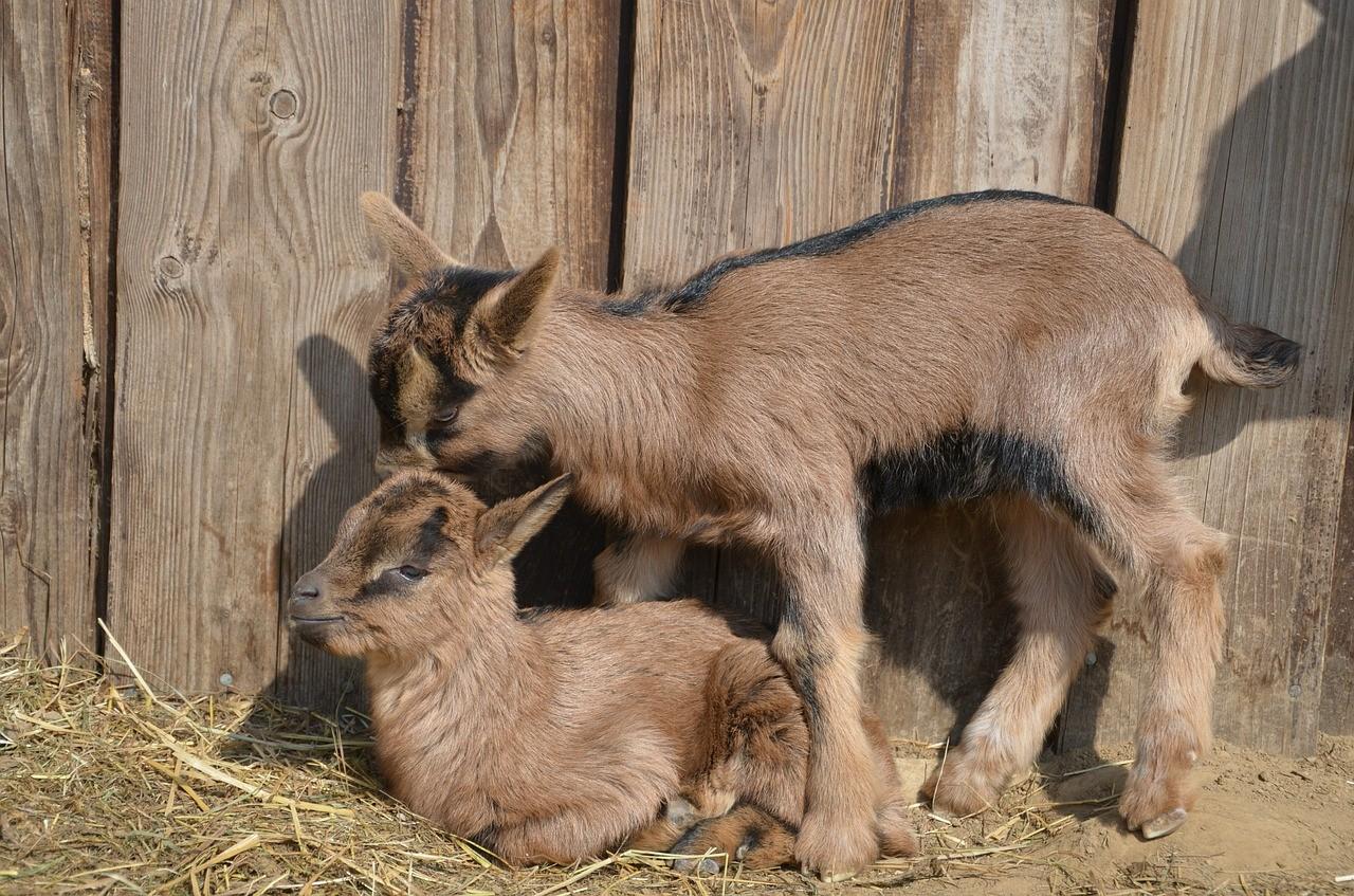 красивая коза фото 6