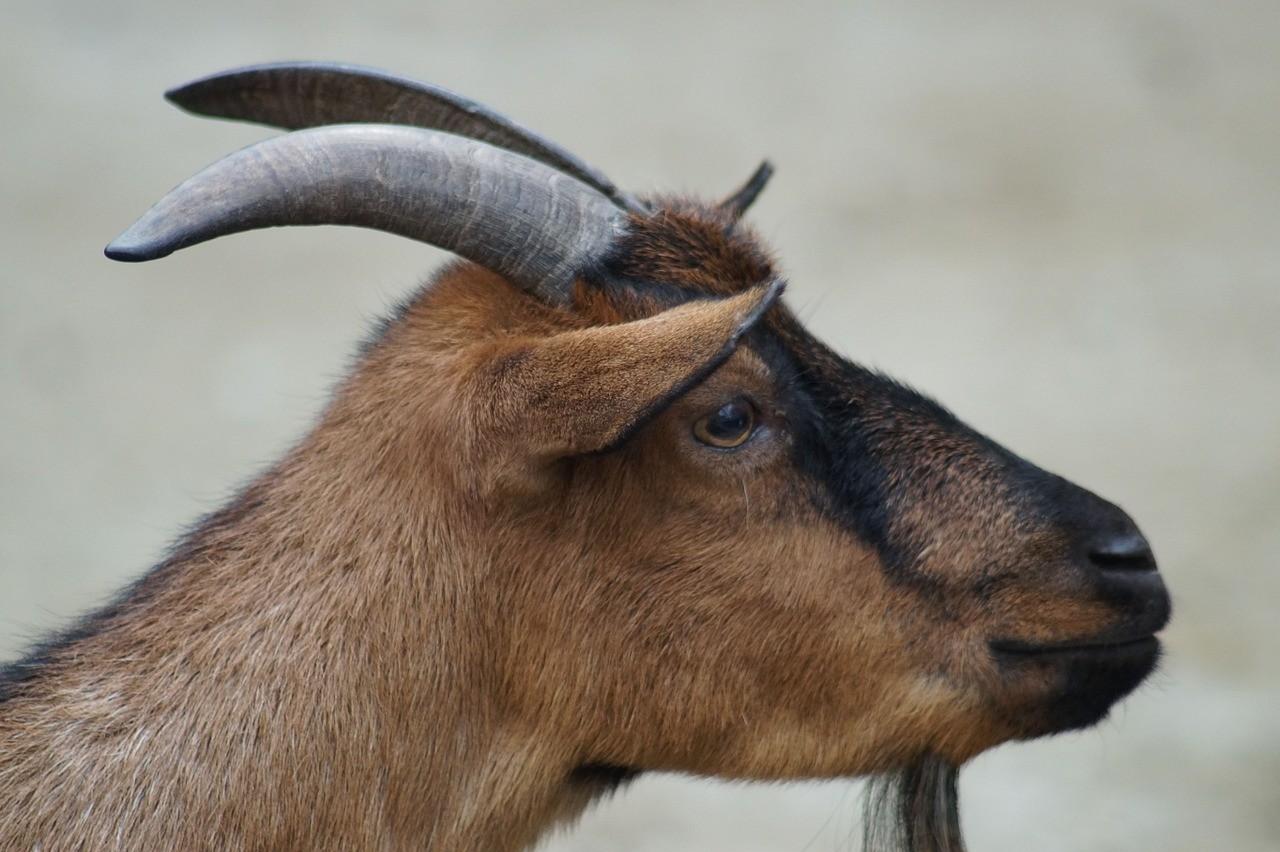 красивая коза фото 8