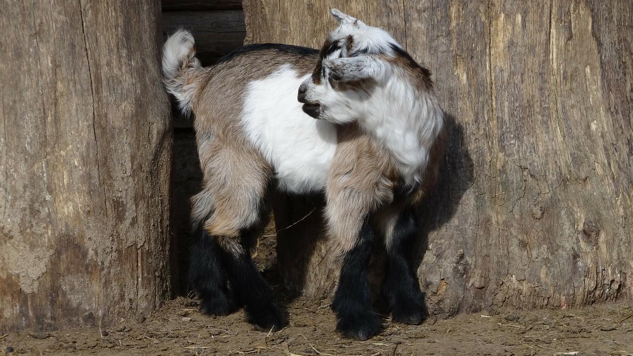 красивая коза фото 9