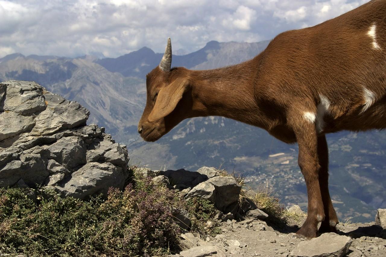 красивая коза фото