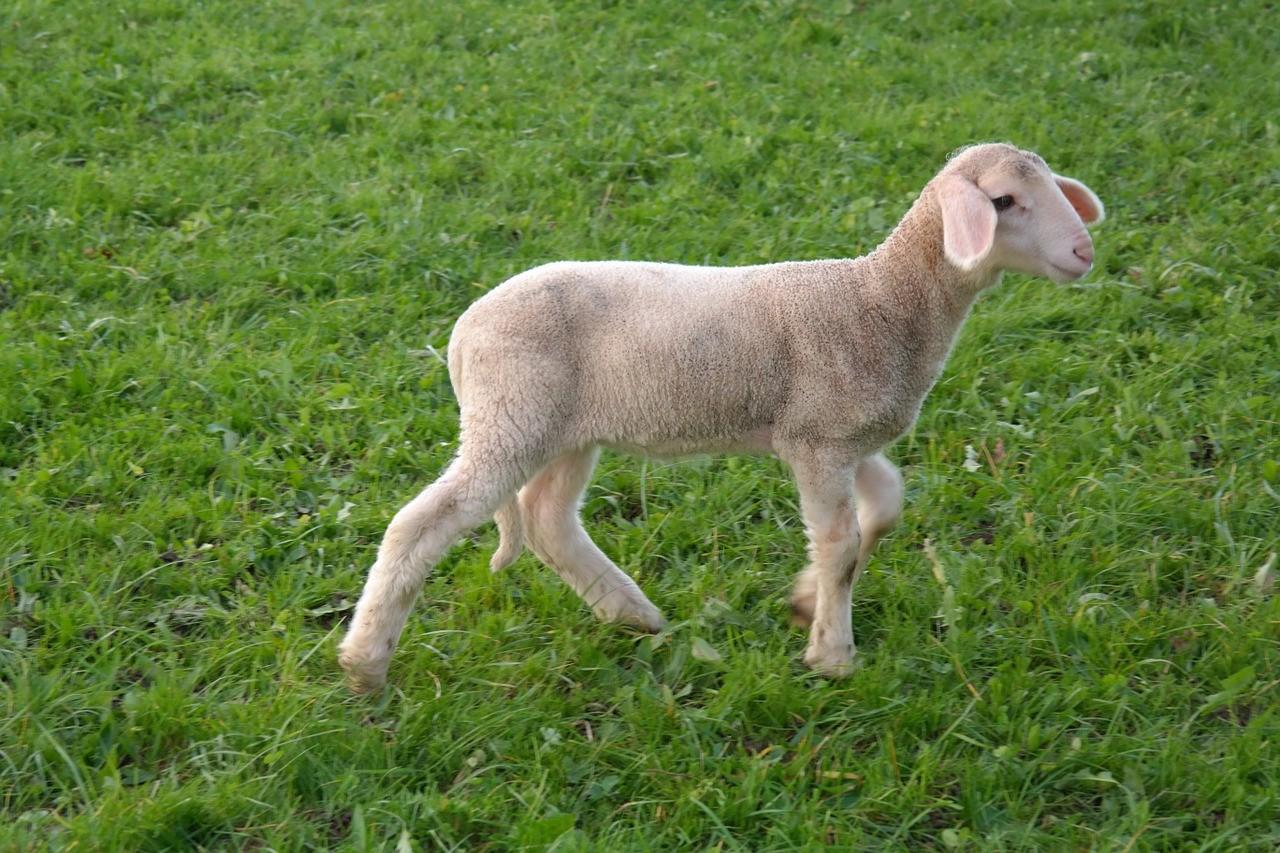 красивые фото овцы 1