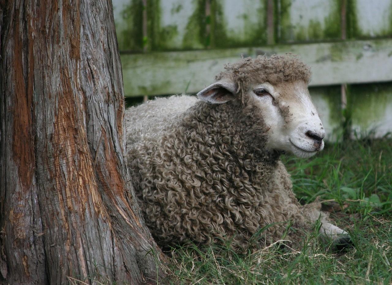 красивые фото овцы 10