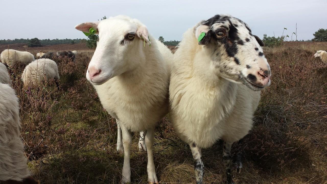 красивые фото овцы 11