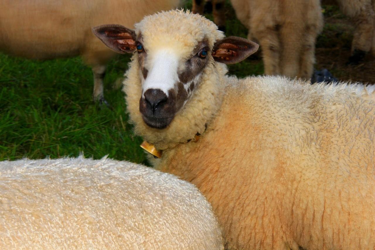 красивые фото овцы 15