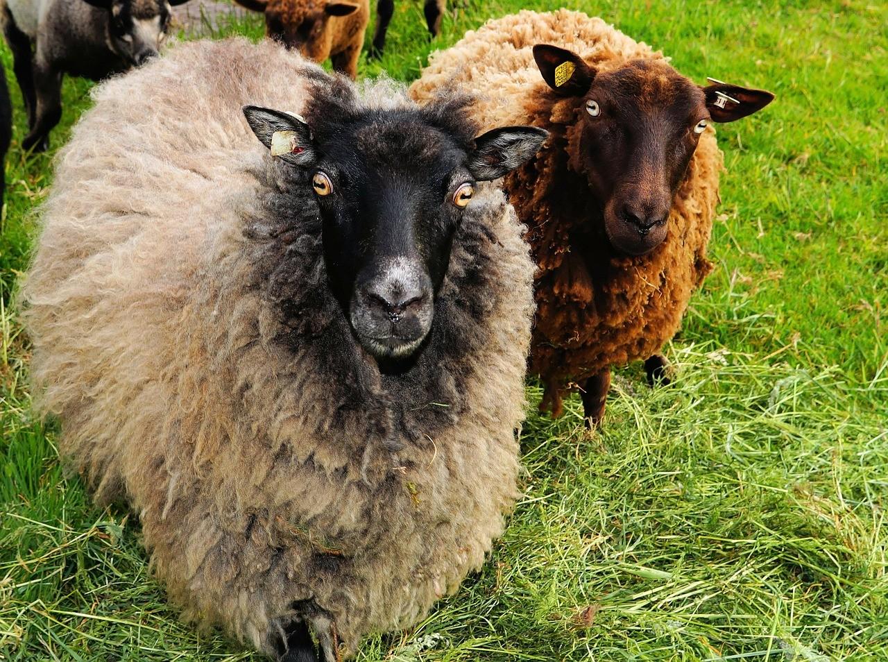 красивые фото овцы 2