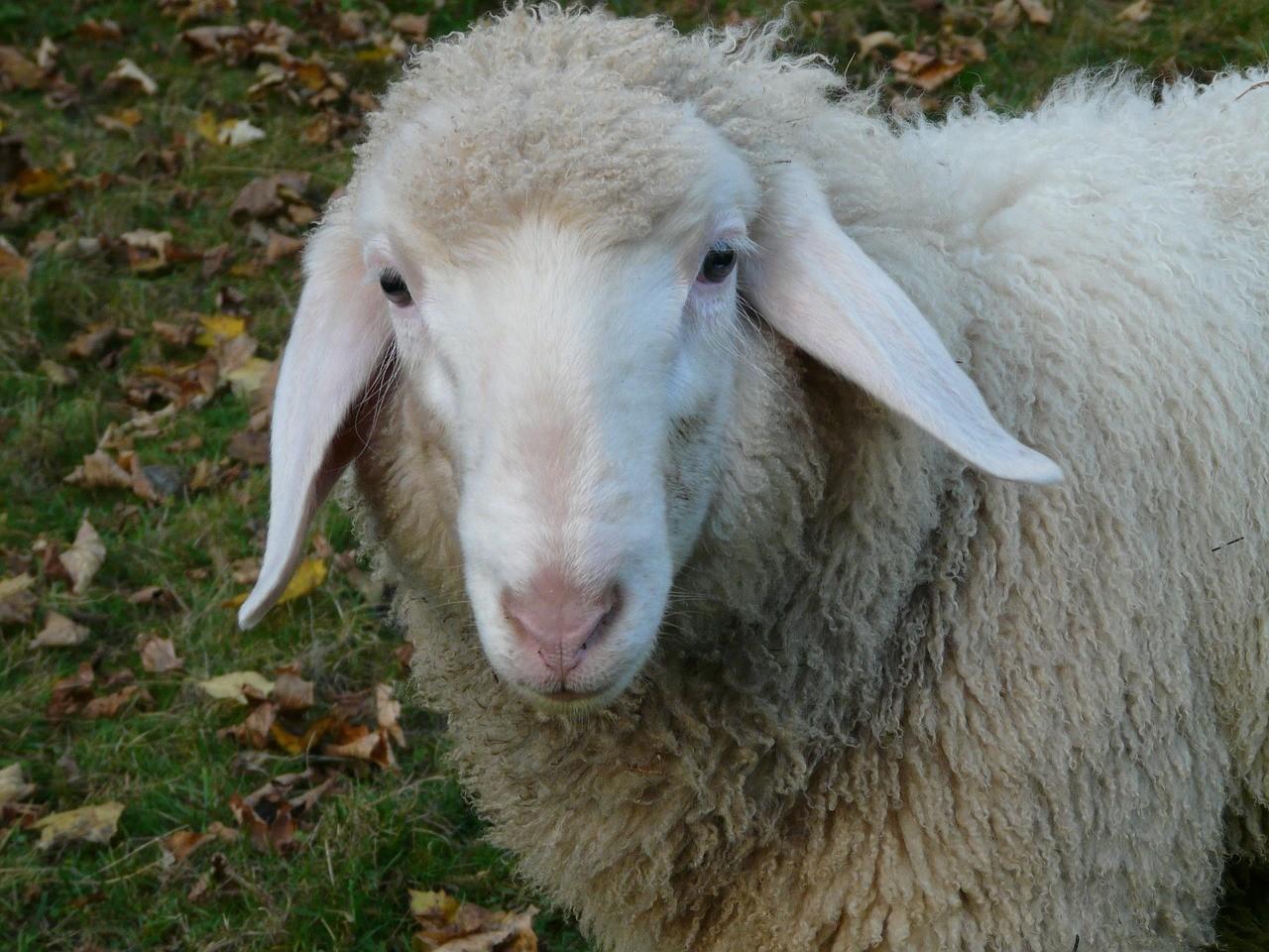 красивые фото овцы 4