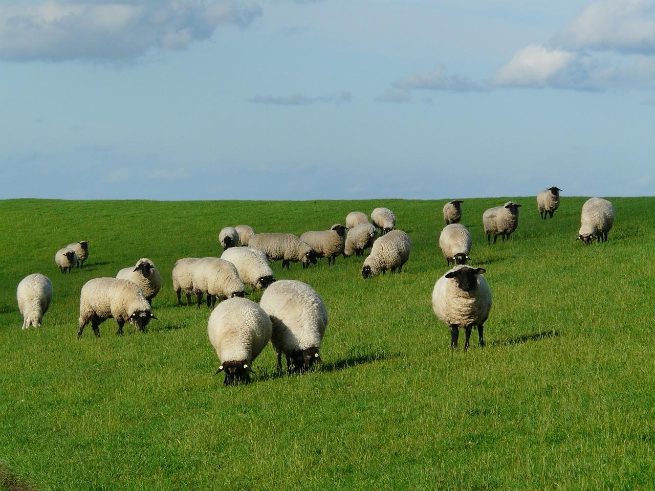 красивые фото овцы 5
