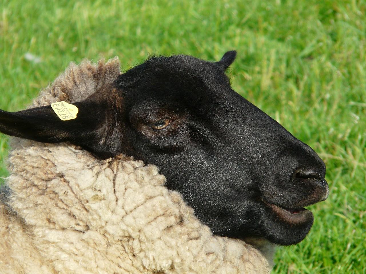 красивые фото овцы 6