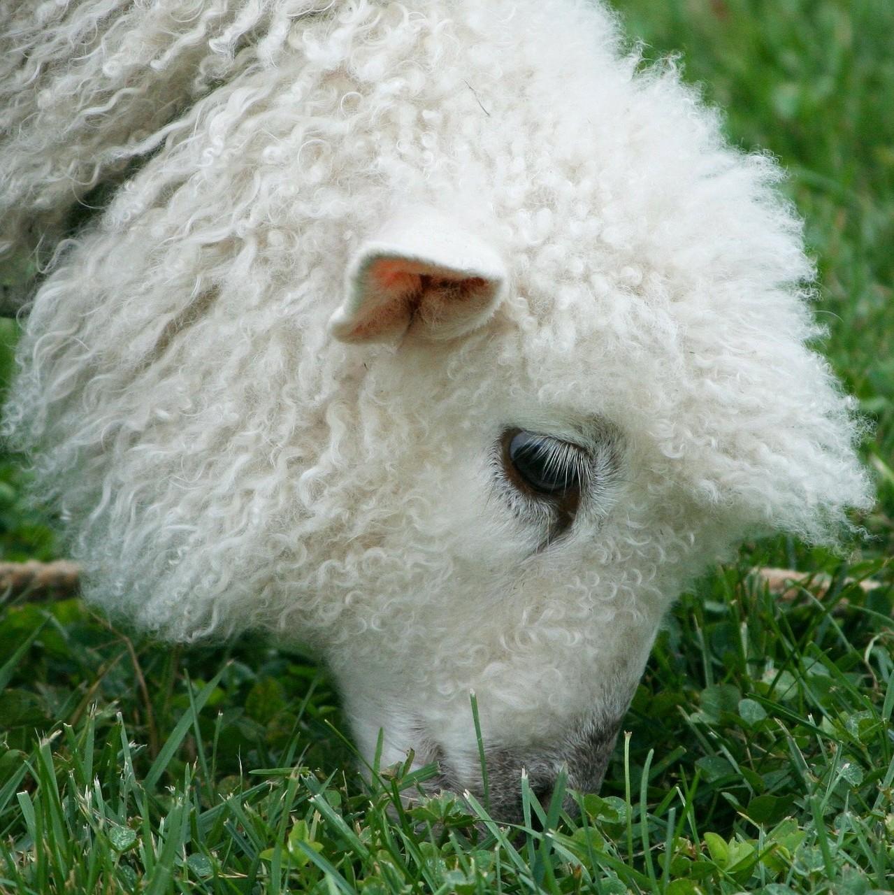 красивые фото овцы 7