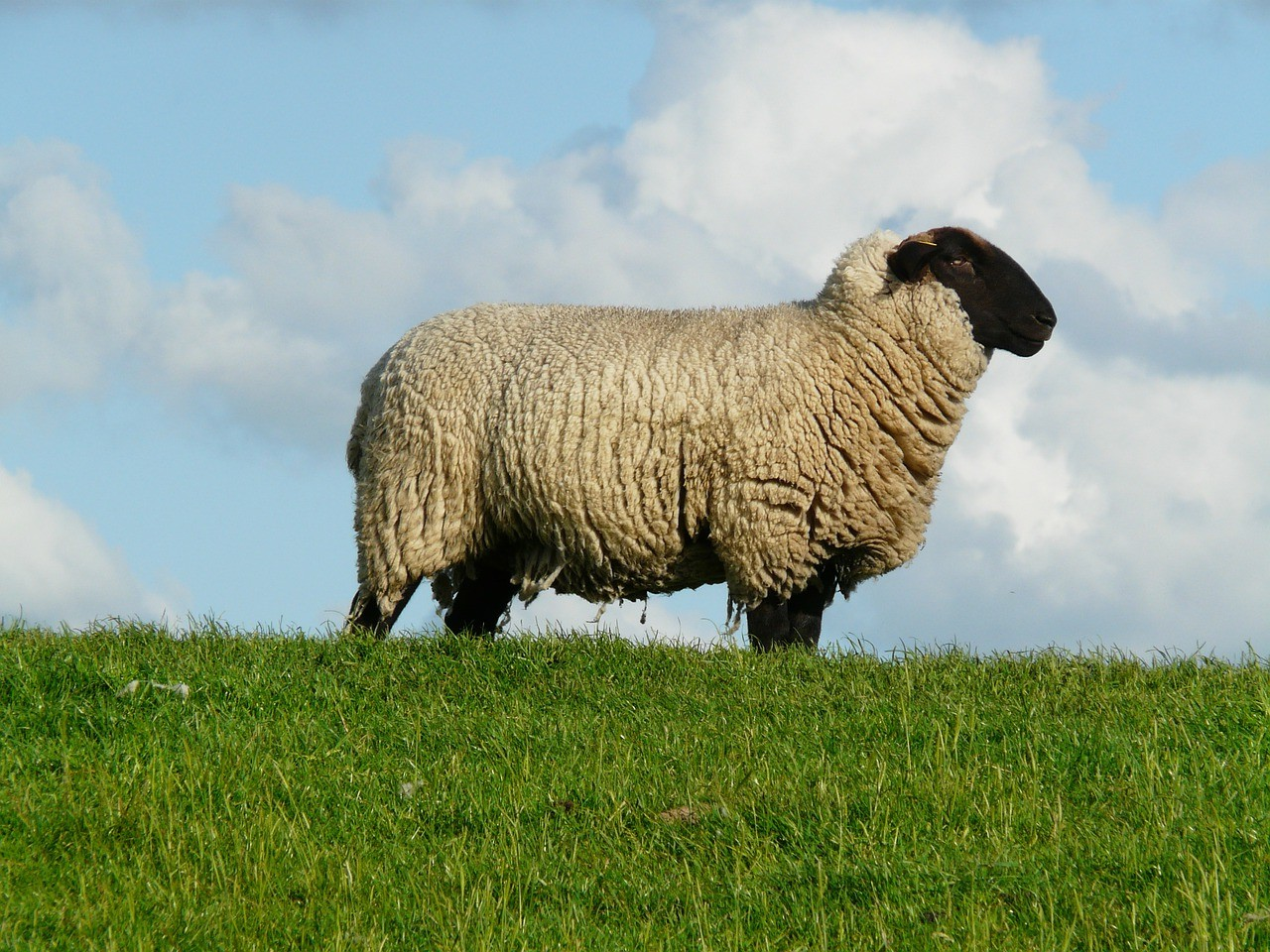 красивые фото овцы 8