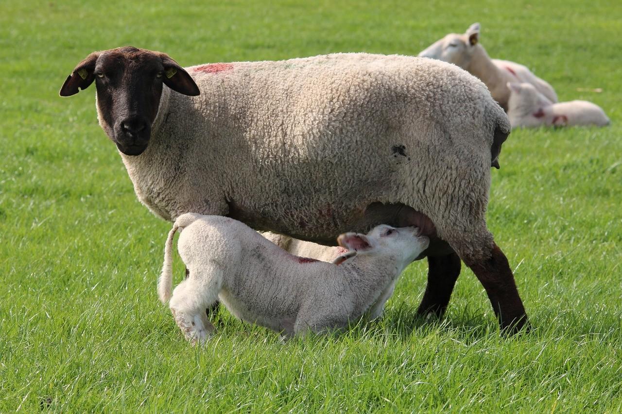красивые фото овцы