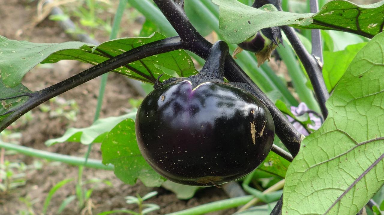 технология выращивания баклажанов