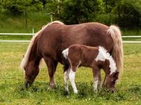 Разведение лошадей. Кобыла после выжеребки