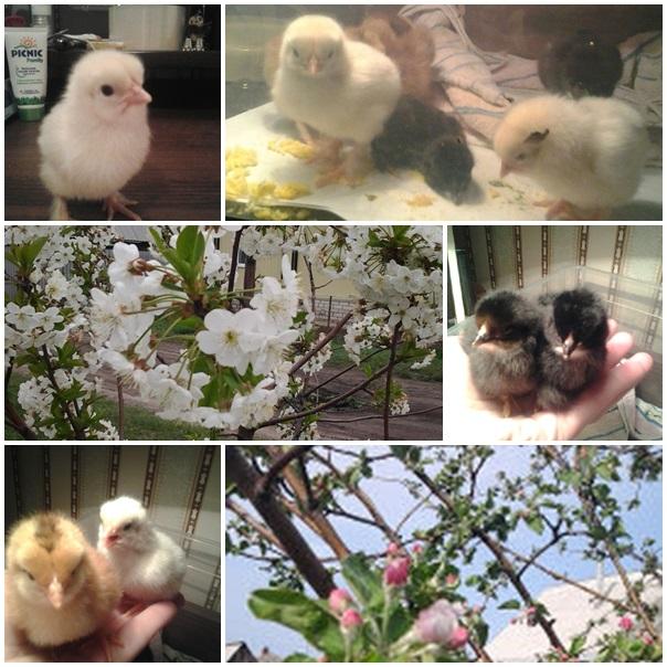 Выведение цыплят - хозяйство Ольги Захидовой