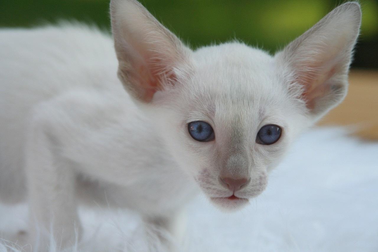 белые коты и кошки фото (1)