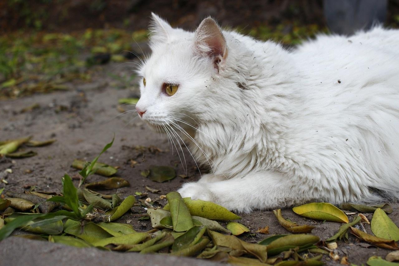 белые коты и кошки фото (10)