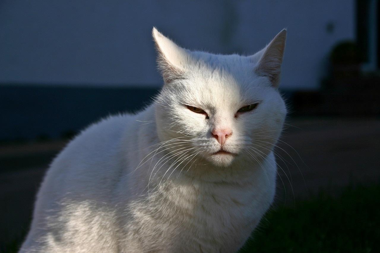 белые коты и кошки фото (11)