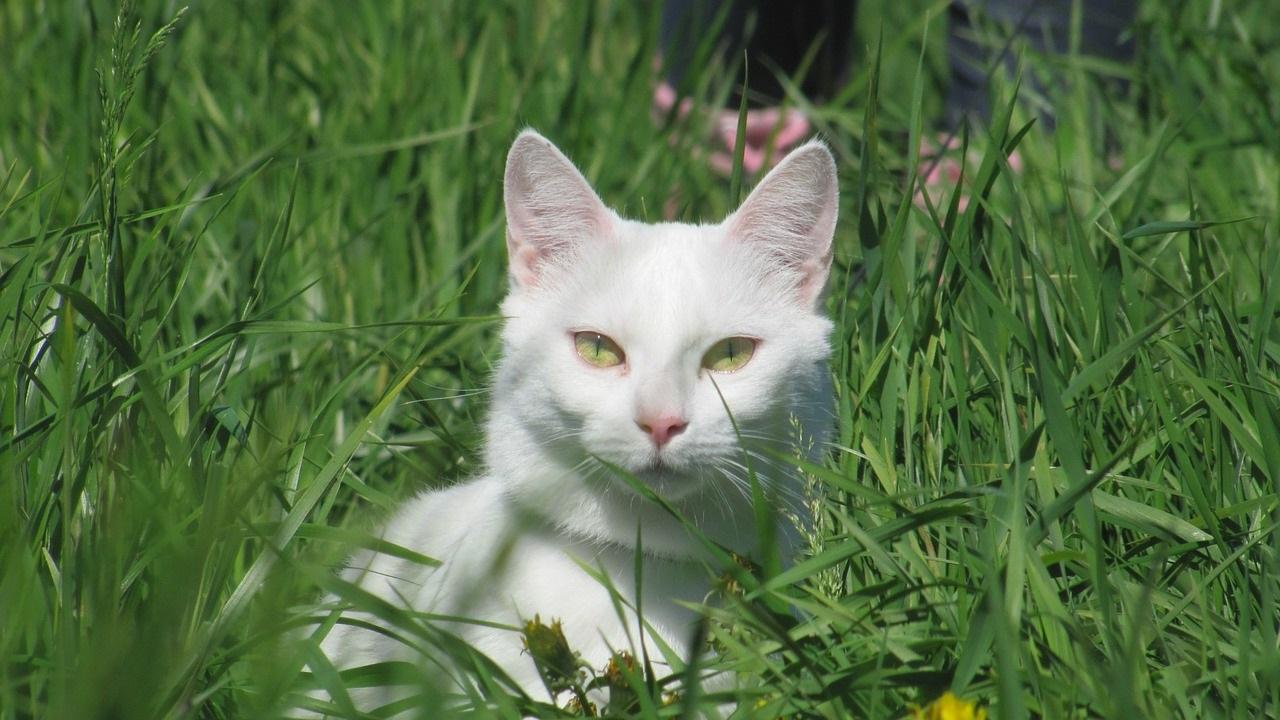 белые коты и кошки фото (12)