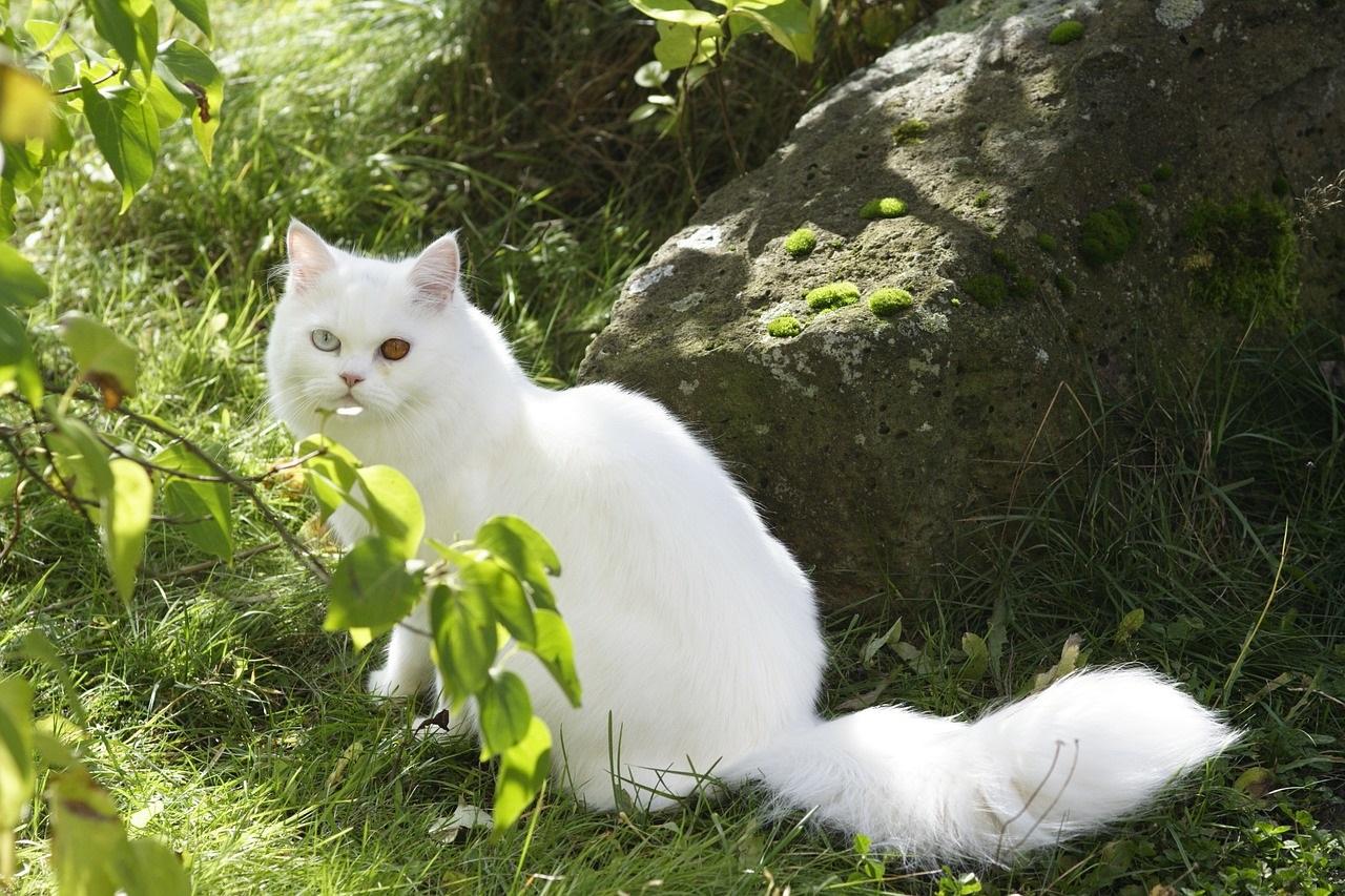 белые коты и кошки фото (3)
