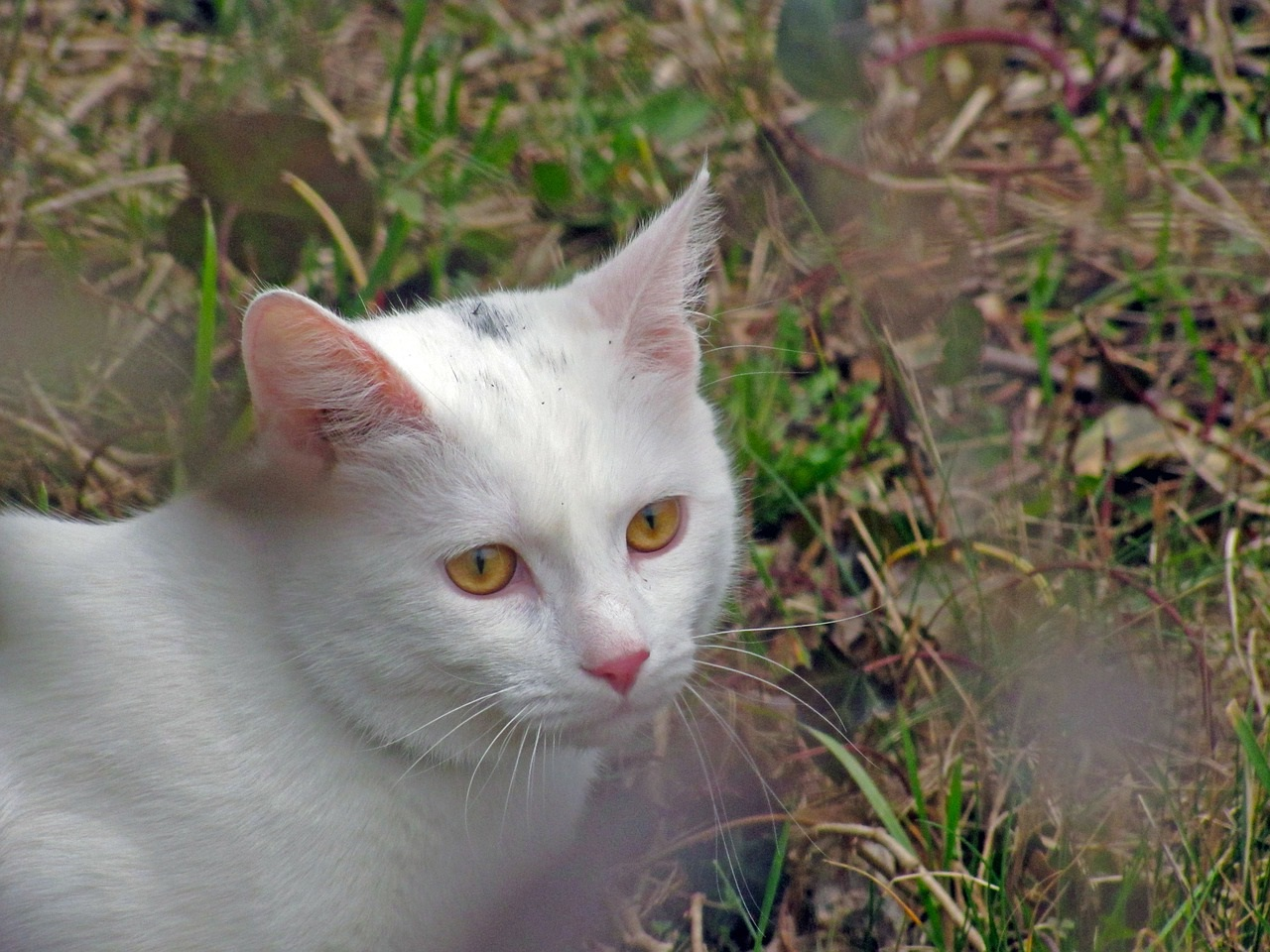 белые коты и кошки фото (6)