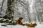 Коровы зимой: сколько сена и воды?
