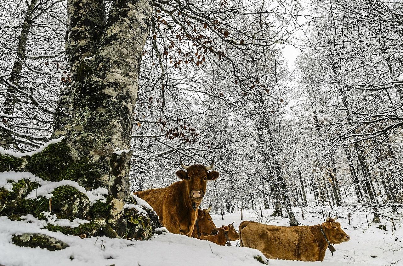как кормить корову зимой