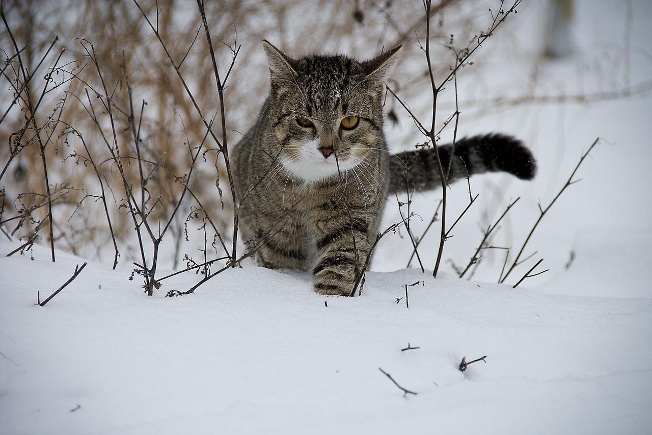 коты и кошки зимой в снегу фото (2)
