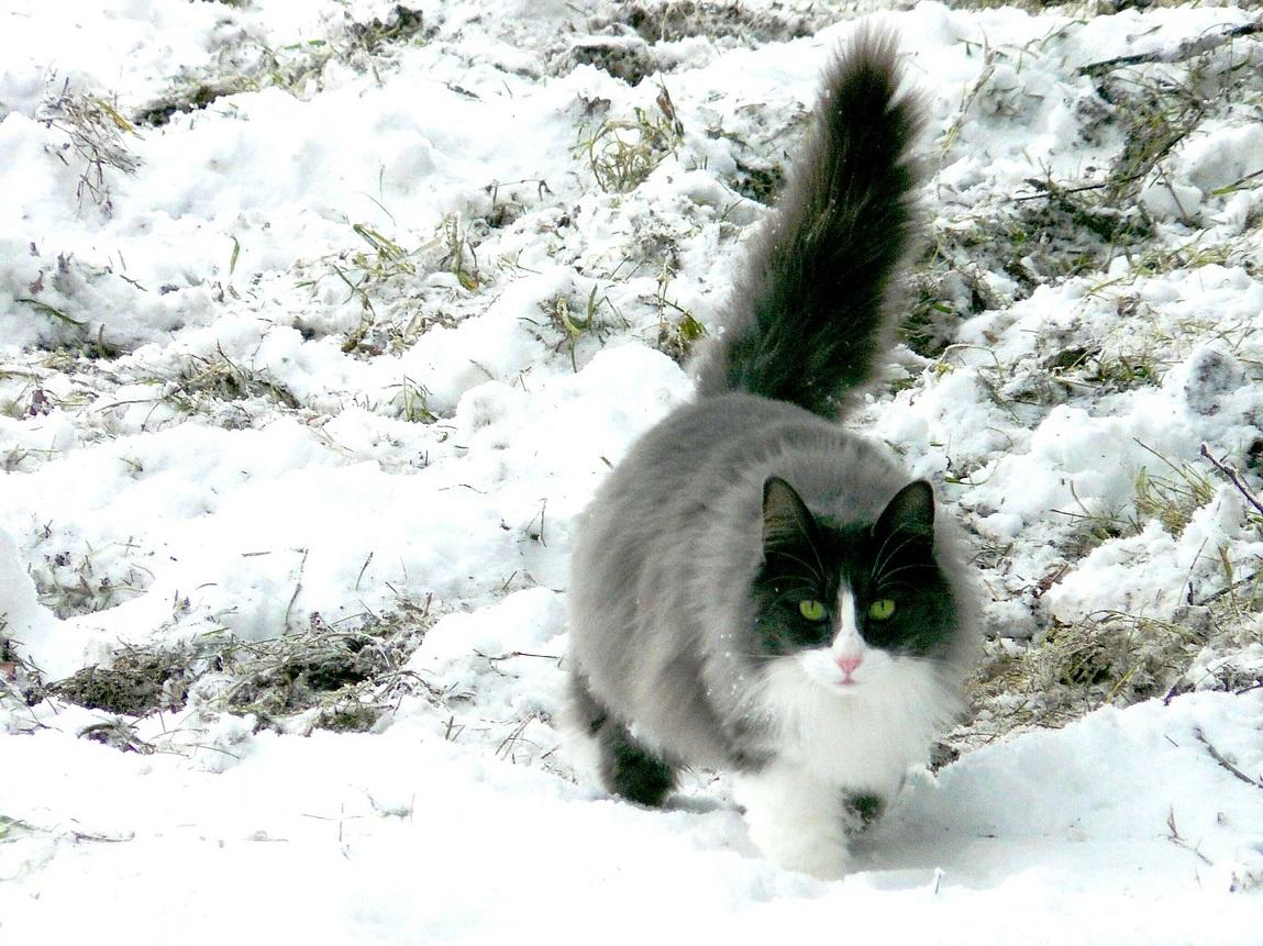 кошки и коты зимой фото (4)