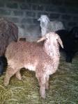 Домашние овцы: Лорд, Миледи и компания