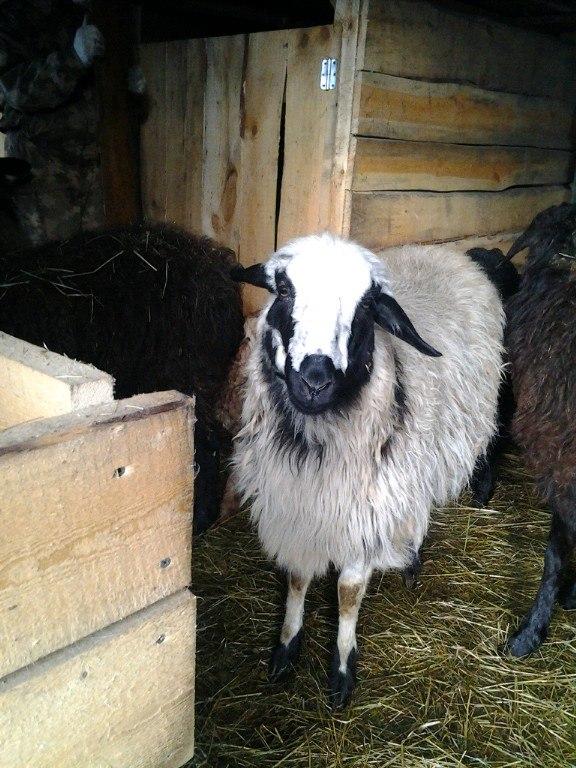 овцы фото 2