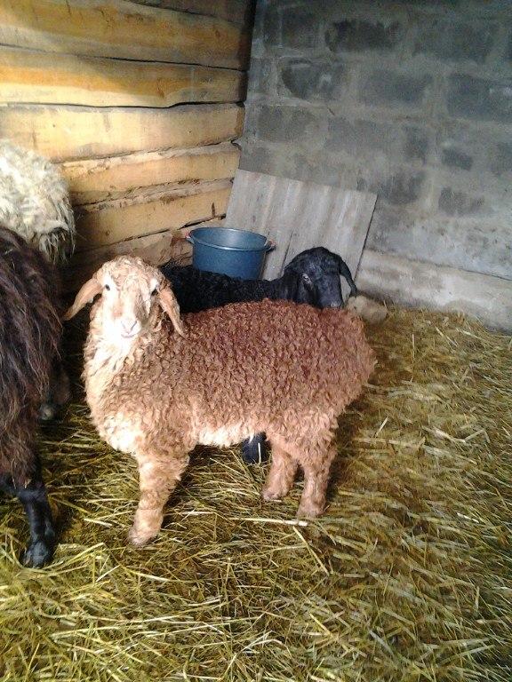 овцы фото 3