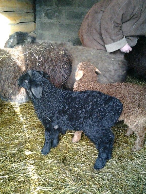 овцы фото 4